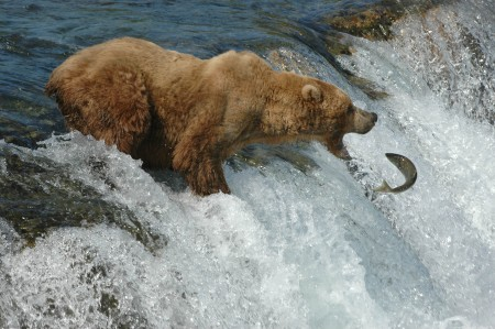 Alaskan brown bear/Katmai National Park